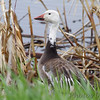 Snow Goose <br /> Squaw Creek Natural Wildlife Refuge