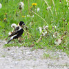 Bobolink <br /> Columbia Bottom Conservation Area