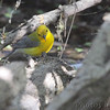 Prothonotary Warbler<br /> Cora Island Road <br /> Big Muddy National Fish and Wildlife Refuge