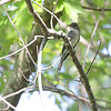 Eastern Wood-Pewee<br /> Cora Island Road<br /> Big Muddy National Fish and Wildlife Refuge