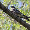 Common Nighthawk<br /> Cora Island Road<br /> Big Muddy National Fish and Wildlife Refuge