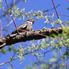 Common Nighthawk<br /> Cora Island Road<br /> Big Muddy National Fish and Wildlife Refuge