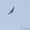 Common Nighthawk<br /> Cora Island Road <br /> Big Muddy National Fish and Wildlife Refuge