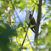 Yellow-billed Cuckoo<br /> Cora Island Road<br /> Big Muddy National Fish and Wildlife Refuge