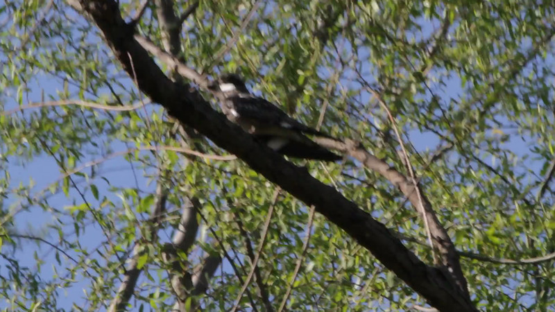 """Common Nighthawk <br> Cora Island Road <br> Big Muddy National Fish and Wildlife Refuge<br><br><span class=""""noShowSmart""""> <a href=""""/MyKeywords/Bird-Videos/n-gF9bt/i-nbLL266/A""""> <span style=""""color:yellow"""">Click here to open video in lightbox/full screen</span></a> <br><br></span>  <span class=""""noShowGallery""""> <a href=""""/Birds/Birding-2013-May/2013-05-14-CBCA-BMNFWA/i-nbLL266/A""""> <span style=""""color:yellow"""">Click here to open video in lightbox/full screen</span></a> </span>"""