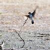Eastern Kingbird<br /> Cora Island Road<br /> Big Muddy National Fish and Wildlife Refuge