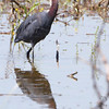 Little Blue Heron<br /> Columbia Bottom Conservation Area