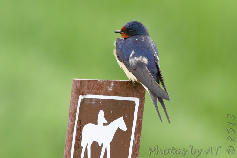 Barn Swallow <br /> Columbia Bottom Conservation Area