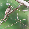 Eastern Phoebe<br /> B K Leach Conservation Area