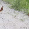 Brown Thrashers <br />  Columbia Bottom Conservation Area