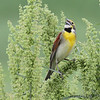 Dickcissel <br /> Columbia Bottom Conservation Area