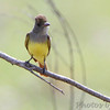 Great Crested Flycatcher <br /> B K Leach Conservation Area