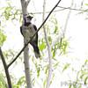 Blue Jay <br /> B K Leach Conservation Area