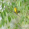 Prothonotary Warbler <br /> B K Leach Conservation Area