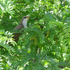 Yellow-billed Cuckoo <br /> B K Leach Conservation Area
