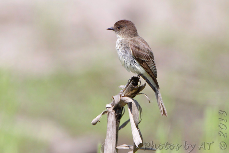 Eastern Phoebe <br /> B K Leach Conservation Area