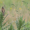 """Dickcissel <br> Columbia Bottom Conservation Area  <br><br><span class=""""noShowSmart""""> <a href=""""/MyKeywords/Bird-Videos/n-gF9bt/i-jPkBnp2/A""""> <span style=""""color:yellow"""">Click here to open video in lightbox/full screen</span></a> </span>  <span class=""""noShowGallery""""> <a href=""""/Birds/Birding-2013-May/2013-05-18-Misc-Areas/i-jPkBnp2/A""""> <span style=""""color:yellow"""">Click here to open video in lightbox/full screen</span></a> </span>"""