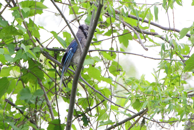 Blue Jay <br /> B K Leach Conservation Area