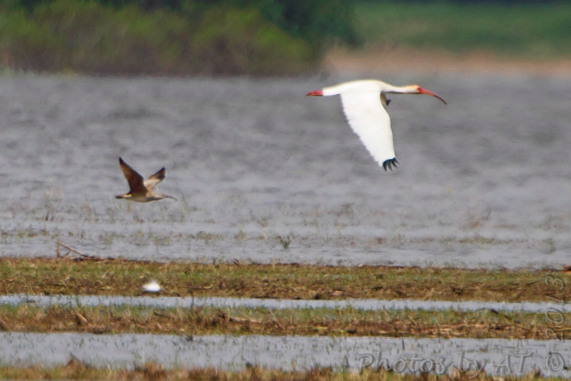 Whimbrel and White Ibis <br /> Hwy N to Winfield Dam <br /> 5/20/13