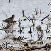 Red-necked Phalarope (female) <br /> Keetman Road <br /> 05/22/2013