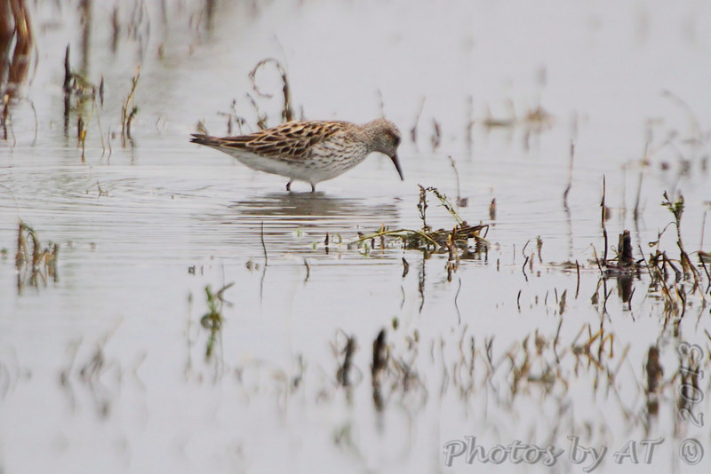 White-rumped Sandpiper <br /> Firma Road <br /> 05/20/2013