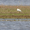 White Ibis <br /> Hwy N to Winfield Dam <br /> 5/20/13