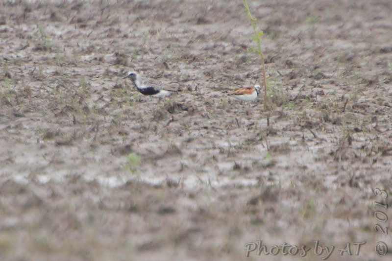 Black-bellied Plover and Ruddy Turnstone <br /> Firma Road<br /> 5/20/13
