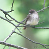 Eastern Wood-Pewee<br /> Shaw Nature Reserve