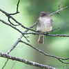 Eastern Wood-Pewee <br /> Shaw Nature Reserve