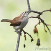 Carolina Wren <br /> City of Bridgeton <br /> St. Louis County, Missouri <br /> 5/02/13