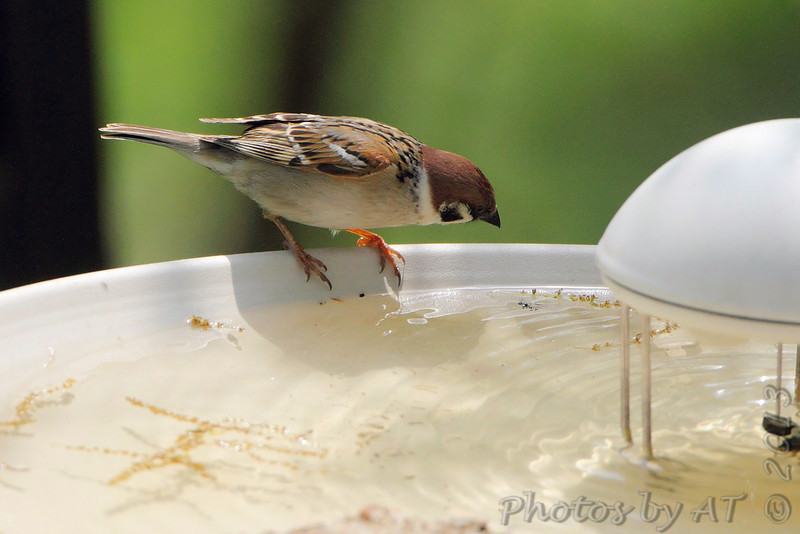 Eurasian Tree Sparrow <br /> Bridgeton, MO <br /> 5/02/13