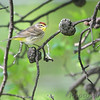 Palm Warbler <br /> City of Bridgeton <br /> St. Louis County, Missouri <br /> 5/02/13