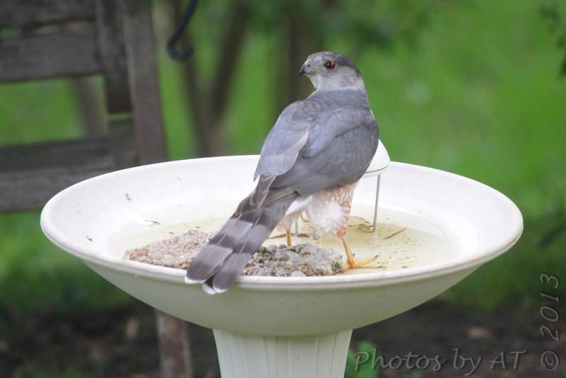 Cooper's Hawk <br /> City of Bridgeton <br /> St. Louis County, Missouri <br /> 5/15/13