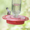 Ruby-throated Hummingbird <br /> City of Bridgeton <br /> St. Louis County, Missouri <br /> 5/02/13