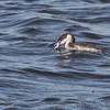 Horned Grebe <br /> Ellis Bay <br /> Riverlands Migratory Bird Sanctuary <br /> 2013-11-07
