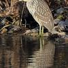 Black-crowned Night-Heron <br /> Ellis Bay <br /> Riverlands Migratory Bird Sanctuary <br /> 2013-11-04