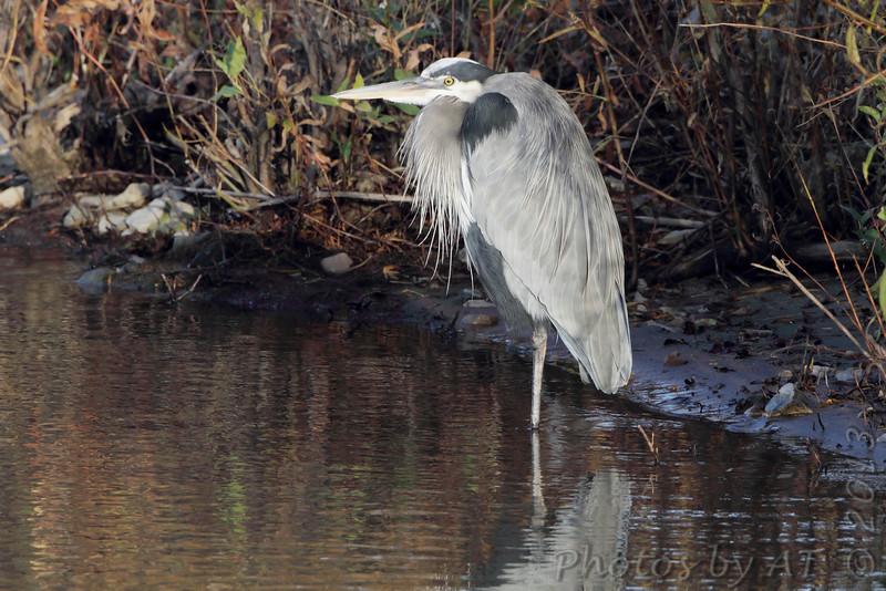 Great Blue Heron <br /> Ellis Bay <br /> Riverlands Migratory Bird Sanctuary <br /> 2013-11-04