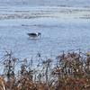 American Avocet <br /> Heron Pond <br /> Riverlands Migratory Bird Sanctuary <br /> 11/09/13