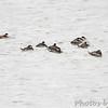 Ruddy Ducks <br /> Ellis Bay <br /> Riverlands Migratory Bird Sanctuary <br /> 2013-11-04
