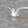 Bonaparte's Gull <br /> Ellis Bay <br /> Riverlands Migratory Bird Sanctuary <br /> 2013-11-11