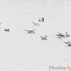 Bonaparte's and Franklin's Gulls <br /> Ellis Bay <br /> Riverlands Migratory Bird Sanctuary <br /> 2013-11-11