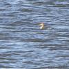 Red-breasted Merganser <br /> Ellis Bay <br /> Riverlands Migratory Bird Sanctuary <br /> 2013-11-07