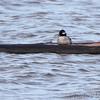 Bufflehead (female) <br /> Ellis Bay <br /> Riverlands Migratory Bird Sanctuary <br /> 11/15/2013