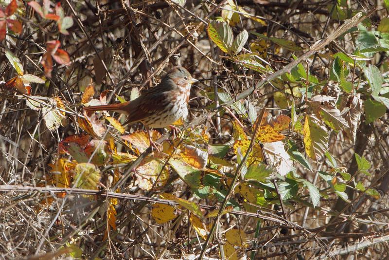 Fox Sparrow <br /> 2013-11-02