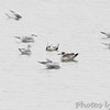 Bonaparte's Gulls and Franklin's Gull<br /> Ellis Bay <br /> Riverlands Migratory Bird Sanctuary <br /> 2013-11-11