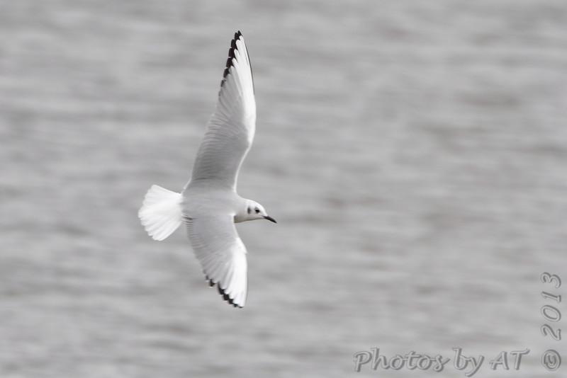 Bonaparte's Gull <br /> Ellis Bay <br /> Riverlands Migratory Bird Sanctuary <br /> 11/11/2013