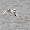 Bonaparte's Gull <br /> 2013-11-11