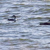 Common Loon <br /> Smithville Lake