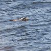 Red-necked Grebe <br /> Smithville Lake