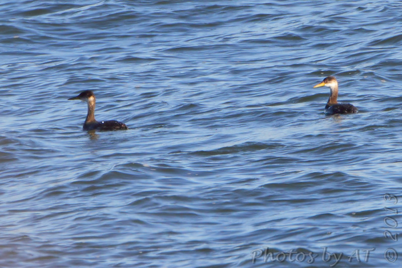 Red-necked Grebe<br /> Smithville Lake